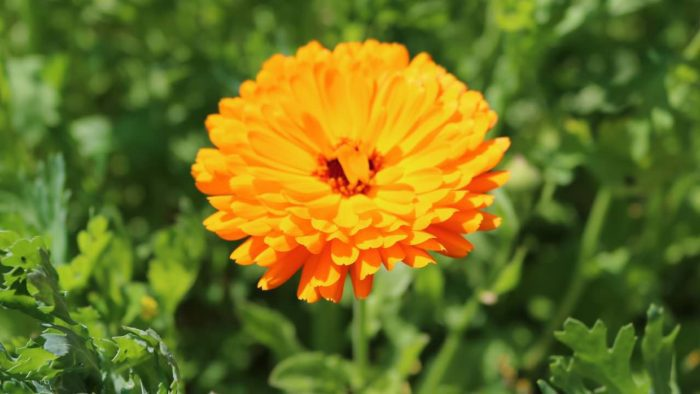 Meadow of Memories Calendula 2
